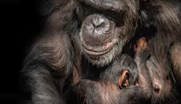 Genetically guided breeding plan for chimpanzees
